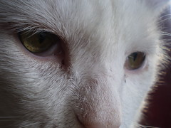 Mystic (universalcatfanatic) Tags: pink cats white green eye face up cat nose eyes close third vein pupil mystic eyelid pupils lid slit constricted