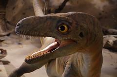 Juvenile Gorgosaurus (2) (juan_guthrie) Tags: drumheller alberta royaltyrrellmuseum dynosaur