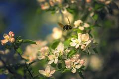 bumble bee (irina_escoffery) Tags: