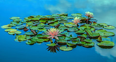 **** Cloud Pool 2 (12bluros) Tags: flowers blue flores nature water floral pool clouds reflections pond flora aquatic lilypads nybg newyorkbotanicalgarden