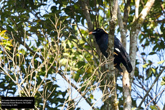 Sri Lanka Myna (Gracula ptilogenys) (Dave 2x) Tags: srilanka endemic sinharaja myna endemicspecies hillmyna nearthreatened gracula sinharajaforestreserve daveirving ceylonmyna srilankamyna graculaptilogenys srilankahillmyna ptilogenys srilankanendemic srilankaendemic httpwwwdaveirvingwildlifephotographycom