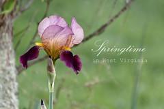 Springtime in West Virginia (Singing Like Cicadas) Tags: flowers iris nature outdoors spring text westvirginia appalachia 2015 rockcave upshurcounty onethousandgifts
