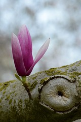 By My Lonesome Self (owls4athene) Tags: new wood pink flower tree nature beautiful beauty niagarafalls nikon outdoor grow fresh depthoffield growth growing bud mothernature budding naturesbeauty nikond3300 d3300