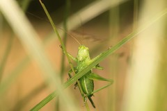 IMG_0501 (Roving_photographer) Tags: france female cricket bruges grasshopper juvenile tettigoniidae aquitaine tettigoniaviridissima