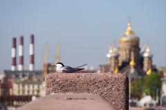 Sunbathing in the city. Arctic tern. (Suicidal_zombie) Tags: morning sun beautiful stpetersburg spring warm day russia sunny arctic saintpetersburg tern russie         russianfederaion