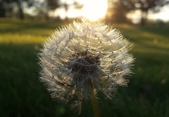 Ready For Takeoff (Tim Loesch) Tags: sunset dandelion seeds