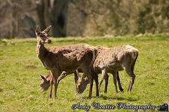 2016-05-04-029 (Andy Beattie Photography) Tags: uk england nature mammal photography europe photographer wildlife yorkshire deer halifax ungulate reddeer northyorkshire westyorkshire ripon eventoed pecora cervuselaphus hoofed andybeattie andybeattiephotography