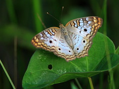 White Peacock 20160527 (Kenneth Cole Schneider) Tags: florida miramar westbrowardwca