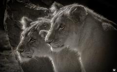 Lion Cubs (ELAINE'S PHOTOGRAPHS) Tags: cats felines bigcats zoos africanlions animalswildlifenature