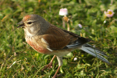Linnet, Maybe (clare.blandford) Tags: hampshire linnet calshot southamptonwater