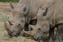 Rhinos! (citizen for boysenberry jam) Tags: wild animals zoo texas waco rhino endangered waza whiterhino aza cameronparkzoo