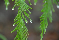 Cedar and Droplet (hillwench) Tags: green weather nikon cedar droplet pnw gloaming narrowfocus