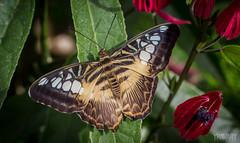 Parthenos Sylvia / Clipper / parthenos sylvia (yravaryphotoart.com) Tags: macro closeup butterfly insect montreal papillon clipper insecte parthenossylvia jardinbotaniquedemontréal canoneos7d canonef100mmf28lmacroisusm yravary yravaryphotoart