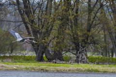 17 May 2016 (runningman1958) Tags: bird nature nikon 365 blueheron avian ottawariver 365dayproject d7200 nikond7200