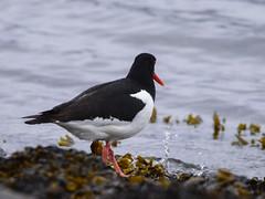 Tjeld-#2 (knutmsa) Tags: birds sport norway seaside nikon sigma haematopus ostralegus 150600mm d800e sigma150600mmf563dgoshsmsport