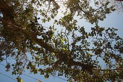 A tree branch (ilovethirdplanet) Tags: trees india branch mathura ind uttarpradesh