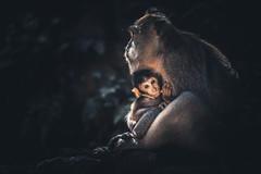 Bali - Monkey Forest (claudecastor) Tags: travel sunset sea bali rot nature water animals forest sunrise indonesia landscape temple monkey asia asien meer southeastasia sdostasien wasser sonnenuntergang religion natur hindu landschaft sonnenaufgang apes indonesien ubud reise tempel tanahlot affen hunduism affenwald hindusimus