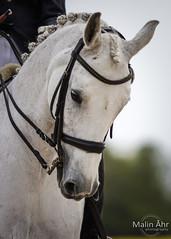 Nr. 43 (malinahr) Tags: horse color nature animal sport skne outdoor natur sterlen djur hst tvling skillinge