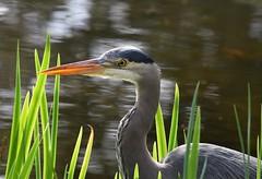 Great Blue Heron (careth@2012) Tags: portrait bird heron nature wildlife greatblueheron