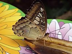 Butterfly & banana (blue33hibiscus) Tags: banana longleat