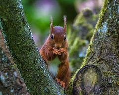 Red Squirrel and her peanuts! (Wilco1954) Tags: home garden spring peanuts redsquirrel