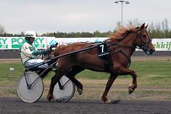 IMG_2301 (lovelymelancholy) Tags: horses horse hevoset hevonen horseraces ravit imrautio ravihevonen oulunravirata