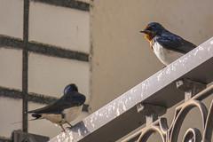 Swallow  (Propangas) Tags: life bird japan jp