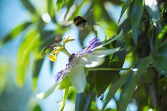 Passion blur (Peter Zabukovnik) Tags: passiflora