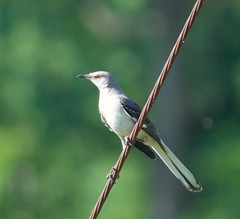 Mocking Bird (King Kong 911) Tags: mockingbird nikon d5000 birds mocking finch nuthatcher cardinal