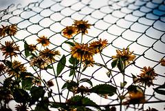 Sunny Disposition (ewitsoe) Tags: hello street flowers sun 35mm fence landscape fun europe escape eu sunny waving forfun flowery wlodawa whimsicle polsak nikond80 ewitsoe