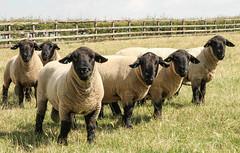 TUPS ON PARADE (BIG KEV6 ## THE MACKEM ##) Tags: tup tups sheep male ram ewe horn tupping farm stock