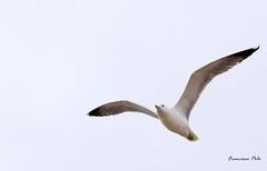 Alas al viento (Fotgrafo-robby25) Tags: aves fujifilmxt1 gaviotas