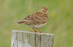 DSC0270  Skylark.. (jefflack Wildlife&Nature) Tags: skylark skylarks larks avian wildlife wildbirds countryside moorland heathland farmland fields songbirds nature ngc birds coastalbirds npc