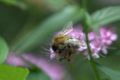 Biene in meinem Garten in Nauheim , NGIDn531820015 (naturgucker.de) Tags: nauheim naturguckerde ngidn531820015 cbettinahr