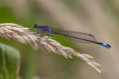 17 07 2016 Agrion élégant ischnura elegans-4