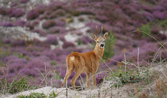What are you doing here? (yvonnepay615) Tags: panasonic lumix gh4 nature deer roydoncommon norfolk eastanglia uk