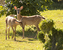 DSC_1705 (Angel Cher ) Tags: fawn whitetailed deer