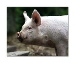 This little piggy... (hehaden) Tags: pig middlewhite profile sussexprairies sussexprairiegarden sussex