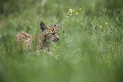 small lynx (Heidi Spiegler) Tags: lynx baby cute cat raubtier luchs zoo inexplore tieraufnahme