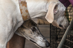 Galgos (Egg2704) Tags: perro perros dog dogs mascota mascotas pet pets animal animales naturaleza naturalia egg2704 wewanttobefree