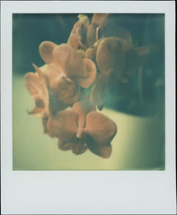 Muted Orchid (sycamoretrees) Tags: analog colorsx70 colorsx70201407 film flower impossible instantfilm integral integralfilm marianrainerharbach orchid polaroid sx70