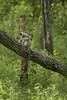 Grey Langoor (varmarohit) Tags: langoor india indianforest karnataka monkey rohitvarma rohit naturephotography nature nagarholenationalpark naturephotograph wildlifephotography wilderness wildlifephotograph wildindia wildlife wild
