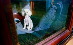 Birlinka (marcosdaniluk) Tags: dog caniche analog analogphotography analogica film 35mm c41 madfotografias