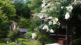 White Crape-myrtle  / Kyoto Ohara Jakko-in Temple
