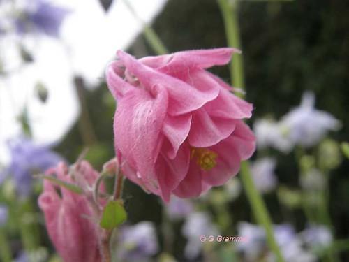 akelei-roze