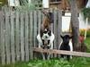 Goat with puppy (SoniaM (Italian teacher)) Tags: italia italy altoadige valledicasies valpusteria valle valli valley valleys animali animale animal animals capra capre goat goats puppy puppies