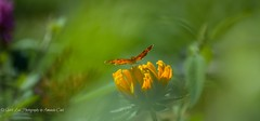 Abstract Wing (1 of 1) (amndcook) Tags: butterfly farm michigan orange outdoors flower insect moth nature pearlcrescent rudbeckia