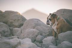 I'm a rock (The 3 bulldogs) Tags: sunset dog pet sun mountain sol rock canon atardecer walk 85mm bulldog perro tired caminar 5d rest puestadesol englishbulldog 18 montaña teide mascota roca goldenhour cansado britishbulldog bulldogingles horadorada 5dmarkiii