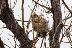 A Great Horned Owlet looks a bit lost