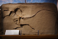 Struthiomimus - Death Pose (juan_guthrie) Tags: drumheller alberta royaltyrrellmuseum dynosaur